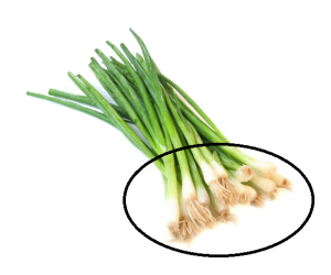 regrow green onions in water